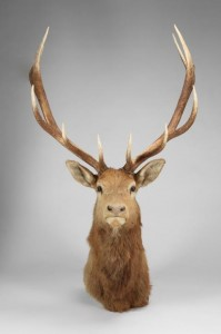 elk-head-2-199x300.jpg